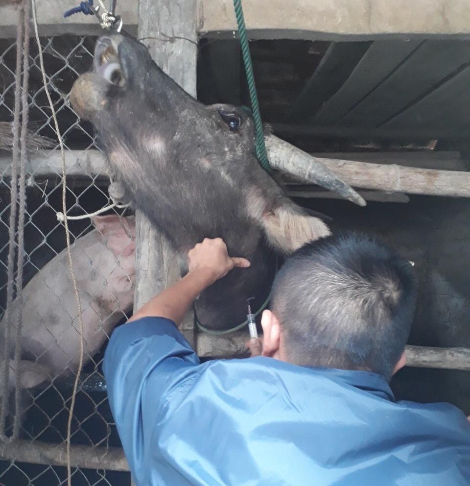 Tiêm phòng cho gia súc ở phường Đậu Liêu