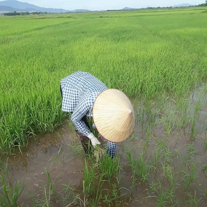 Bà con nông dân Đậu Liêu tập trung chăm bón cho lúa vụ Hè thu